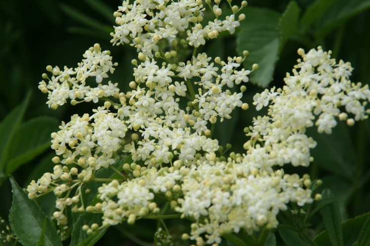Elderflower small